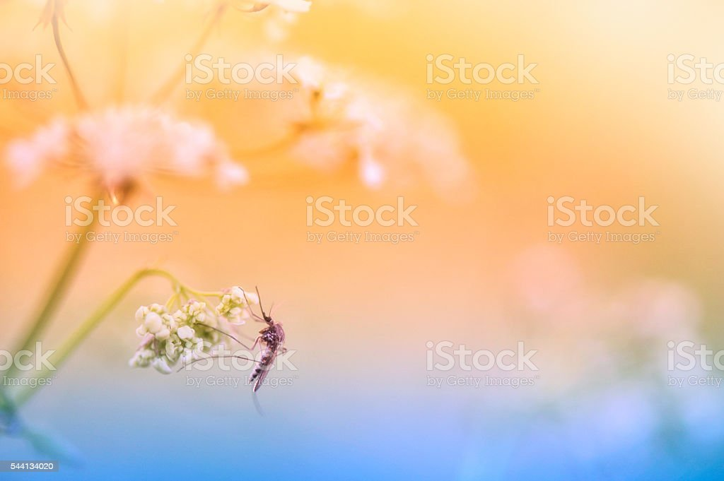 Mosquito resting on cow parsley flower stock photo