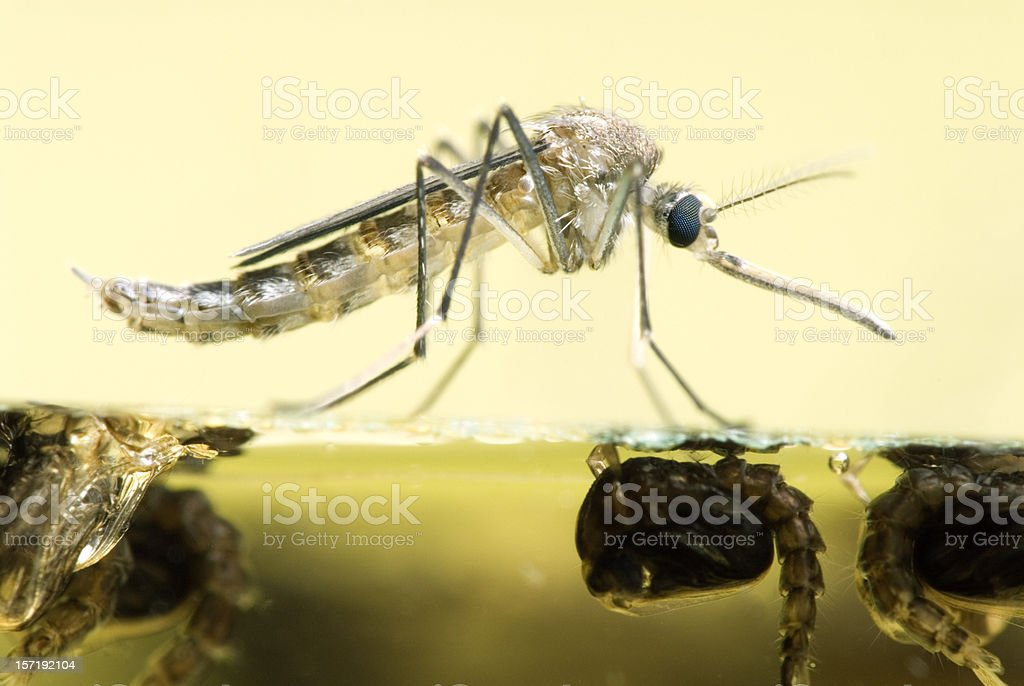Mosquito Resting On Water royalty-free stock photo