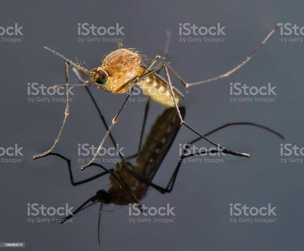 mosquito standing on a pool of water stock photo