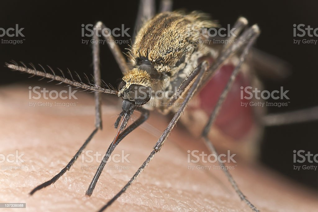 Mosquito sucking blood, extreme close-up royalty-free stock photo