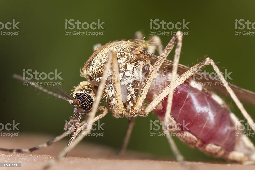 Mosquito sucking blood, extreme close-up stock photo