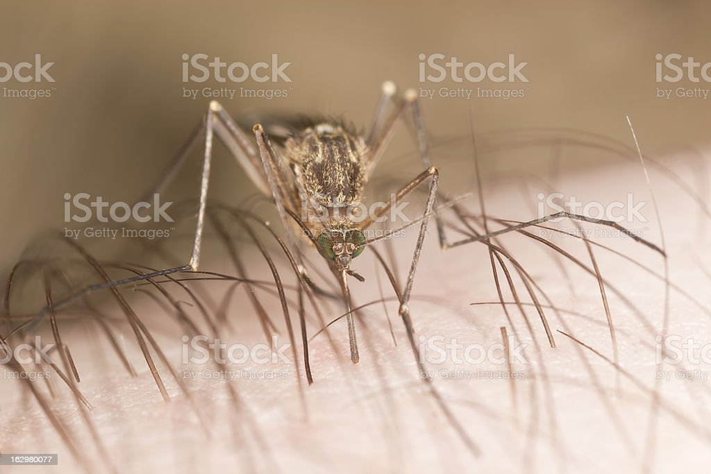 Mosquito sucking blood, extreme close-up with high magnification royalty-free stock photo