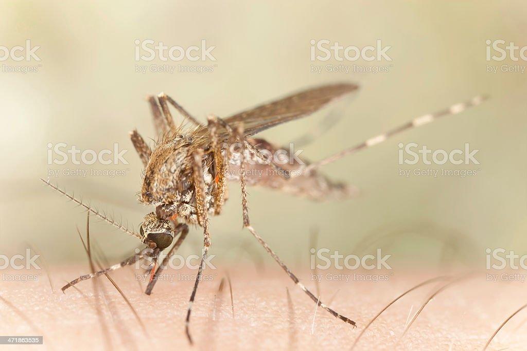 Mosquito sucking blood from human, macro photo royalty-free stock photo
