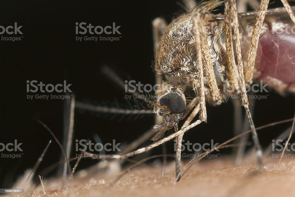 Mosquito sucking blood, macro photo royalty-free stock photo