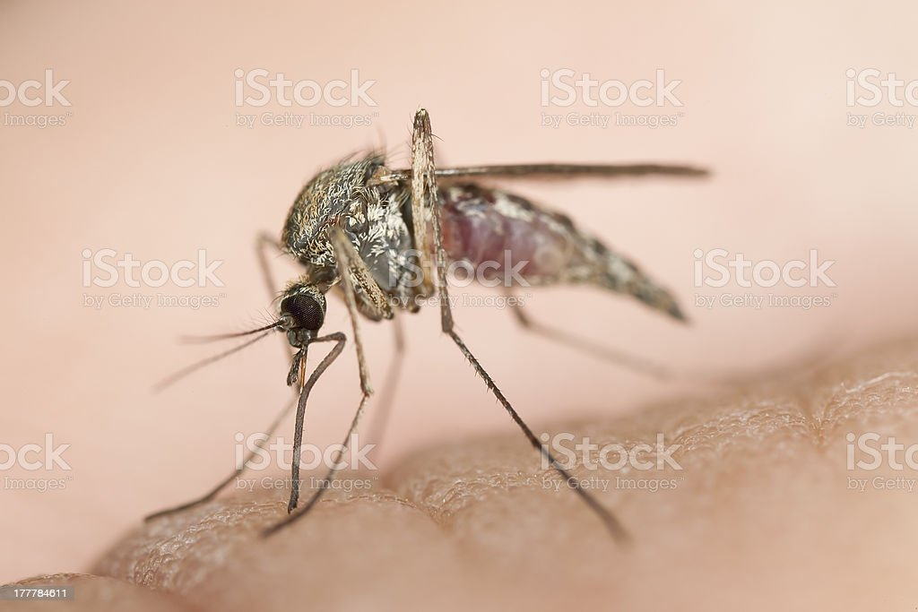 Mosquito sucking blood, macro photo royalty-free stock photo
