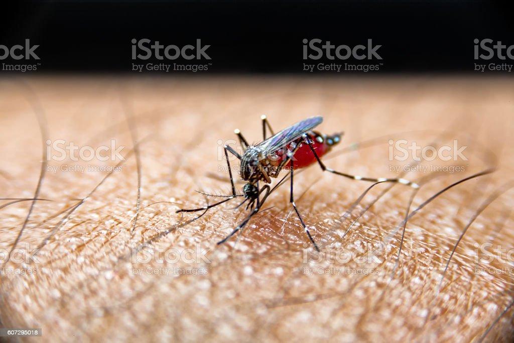 Mosquito sucking blood on Human skin. stock photo