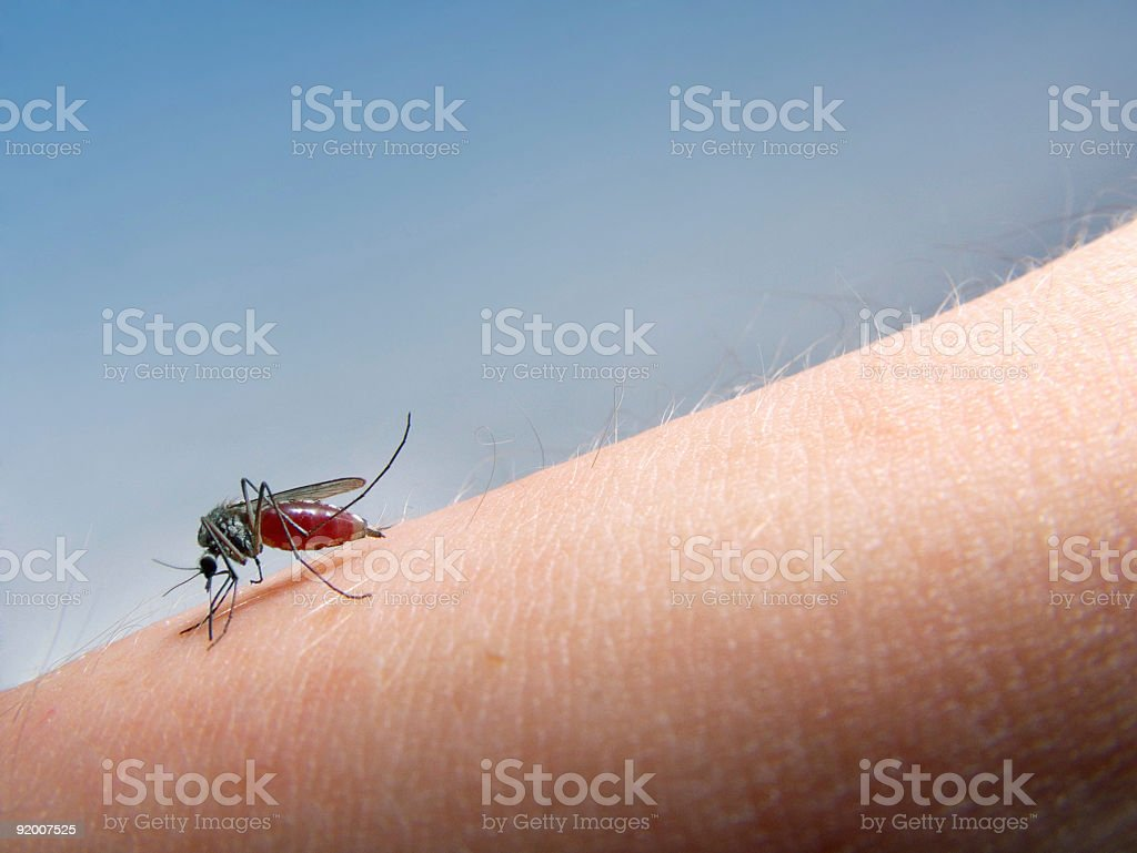 mosquito sucking blood stock photo