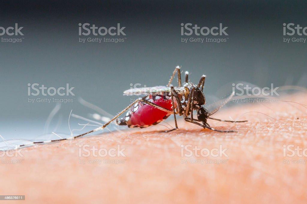 Mosquito sucking blood_set B-2 stock photo