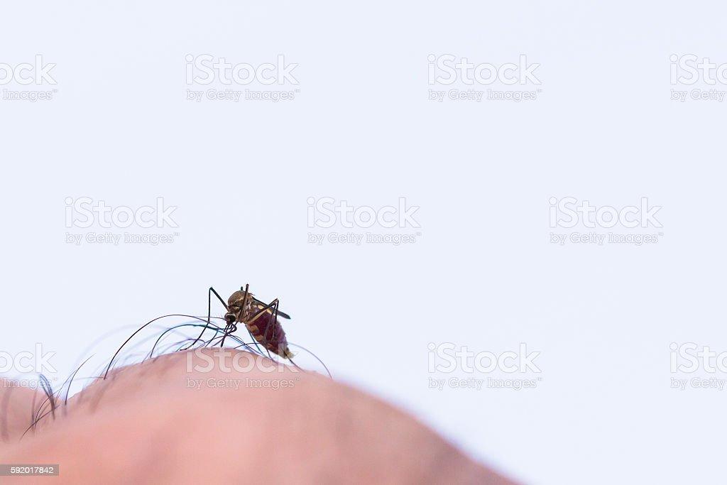 mosquito sucking human blood stock photo