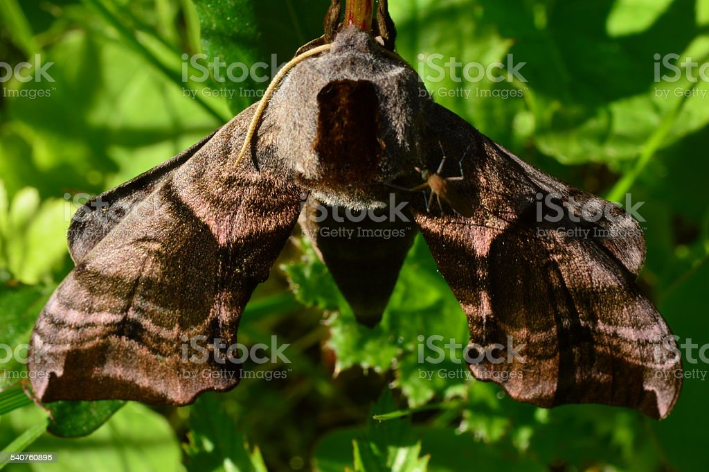Mosquito Summer is sitting on a butterfly's wing smerinthus ocellatus stock photo