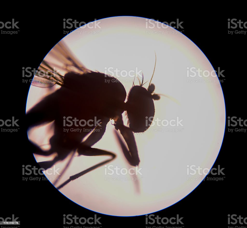 mosquito with microscope. stock photo