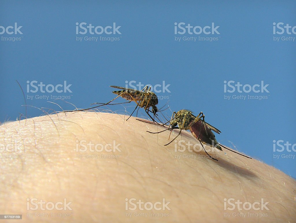 mosquitos 05 royalty-free stock photo