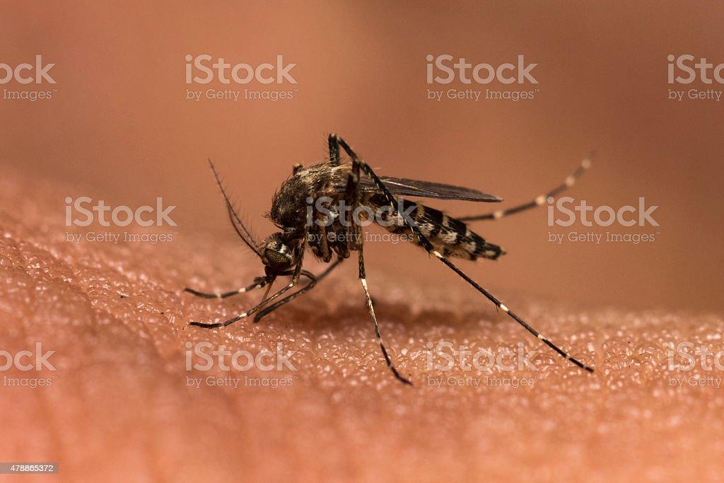 mosquitoes blood sucking on human skin stock photo