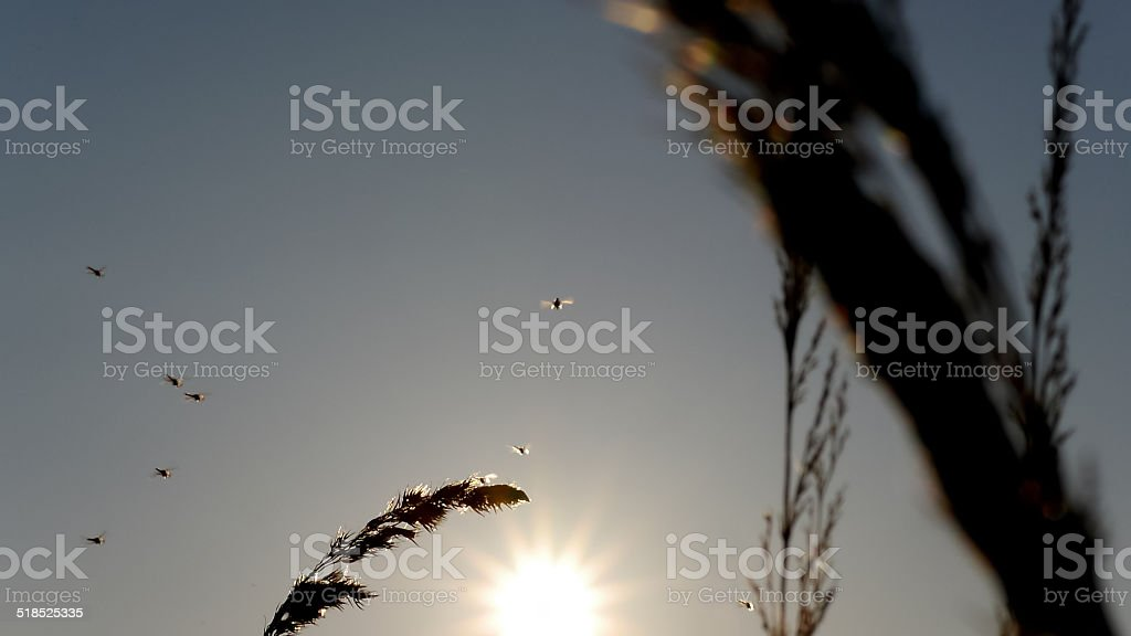 Mosquitoes flying around grass in the sun royalty-free stock photo