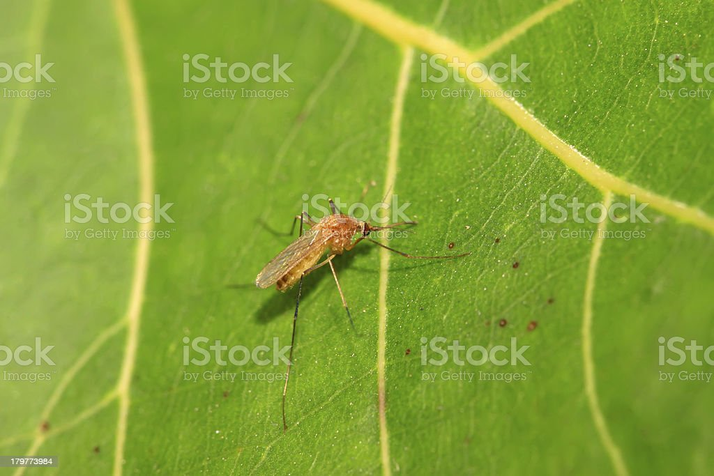 mosquitoes royalty-free stock photo