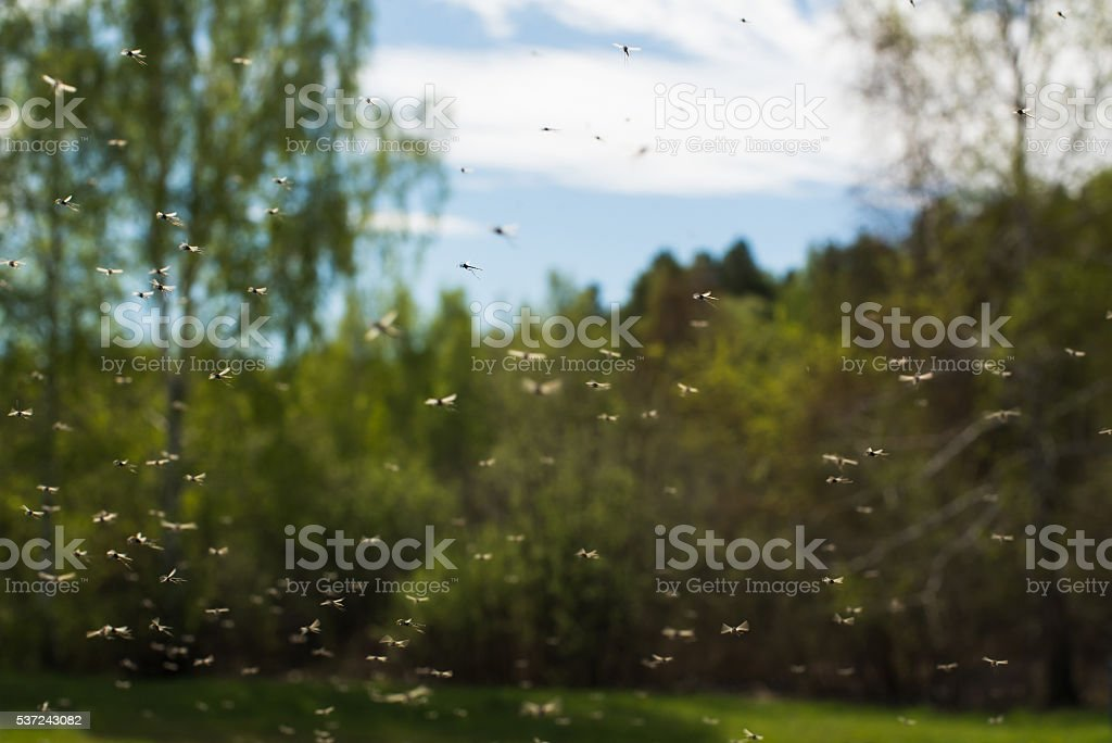 Mosquitoes stock photo