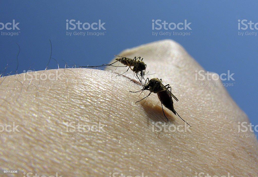 mosquitos  06 royalty-free stock photo