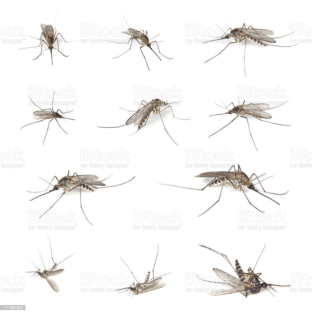 Mosquitos isolated on white background. royalty-free stock photo