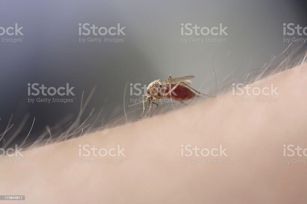 Mosquito's suck 2 royalty-free stock photo