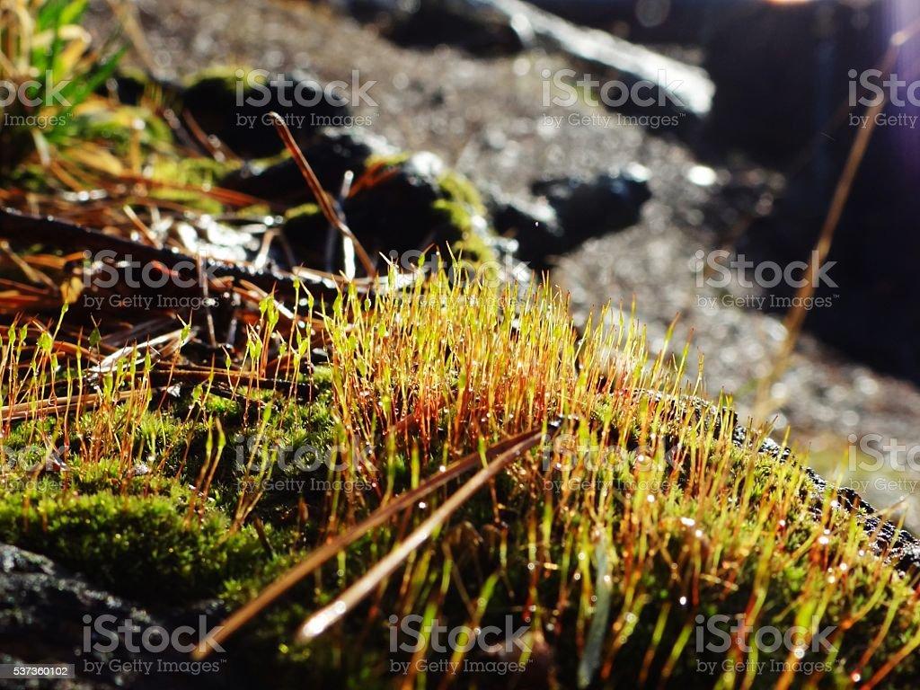Point de riz et lichen, illuminé par le coucher du soleil. photo libre de droits