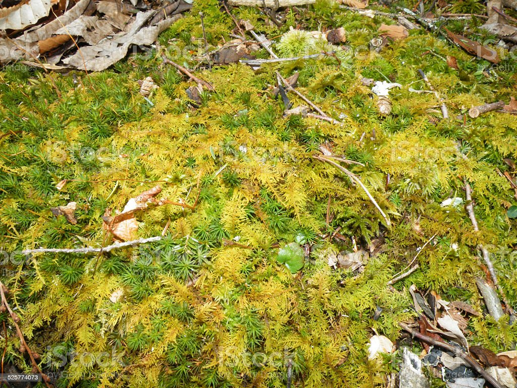 Moss Bed in the Woods stock photo