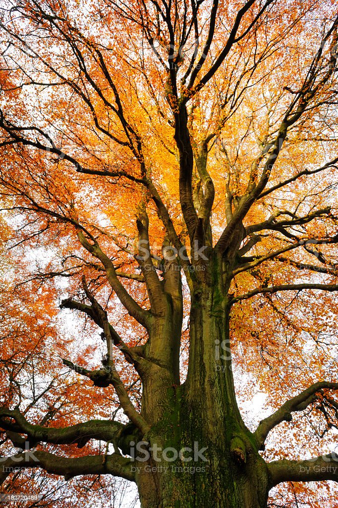 Moss Covered Ancient Beech Tree in Autumn Forest stock photo