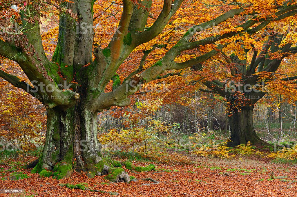 Moss Covered Ancient Beech Tree in Autumn Forest royalty-free stock photo