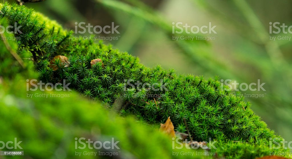 Moss covered Forest floor background close-up. stock photo