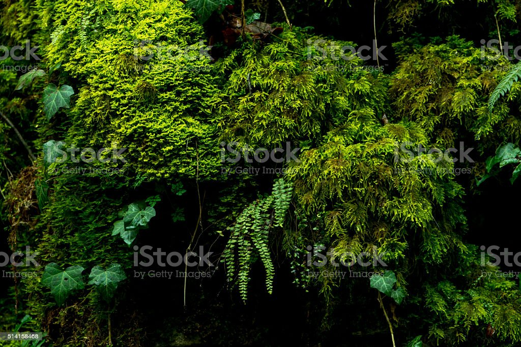 Moss covered moist rock face with fern growing. stock photo
