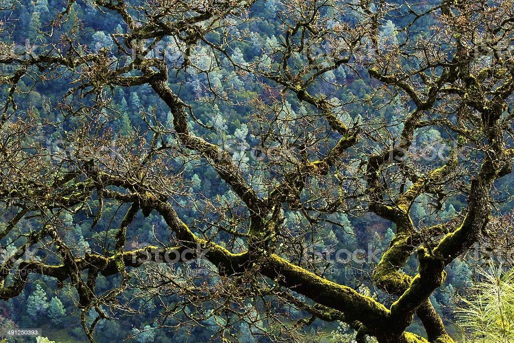 Moss Covered Oak stock photo