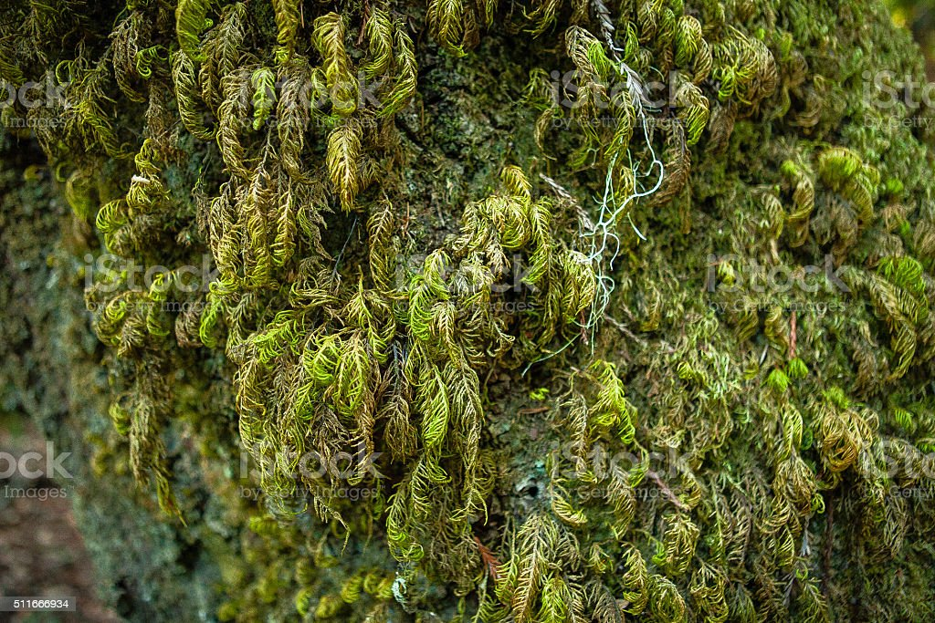Moss Covered Oak Tree, Big Basin State Park royalty-free stock photo