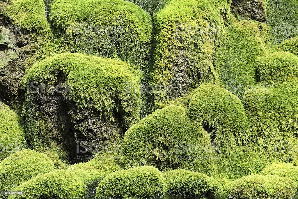 Moss covered rocks in the mangroves royalty-free stock photo