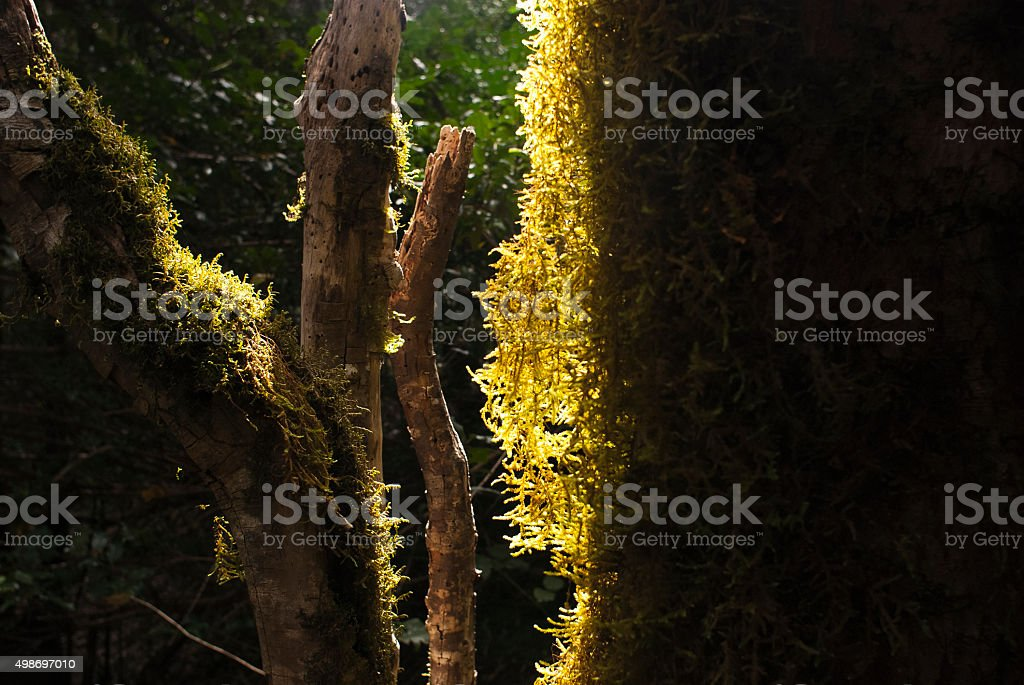 Moss covered tree bark in laurel forest on Tenerife island stock photo