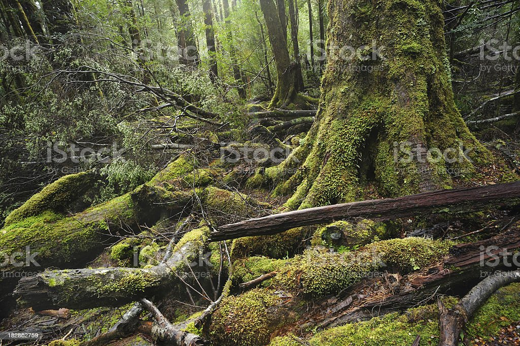 Moss Covered Trees royalty-free stock photo