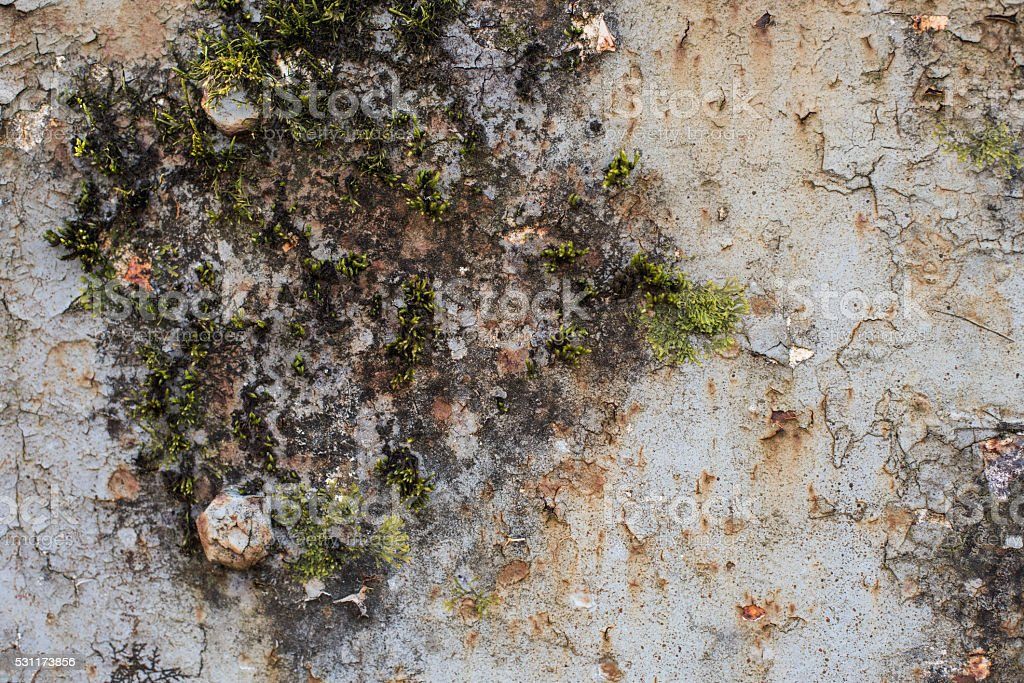 Moss growing on cracked and peeling paint stock photo