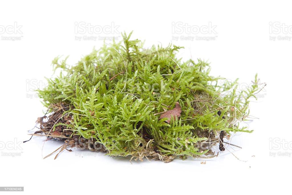 Moss in white background XXXL stock photo