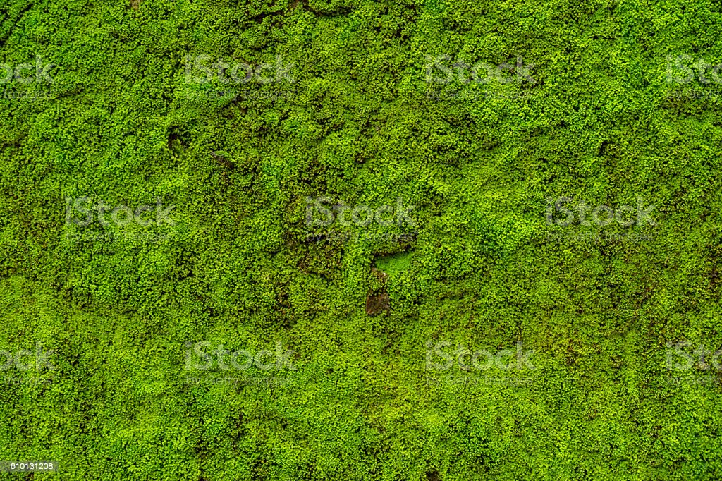 Moss leaves on wall is background stock photo