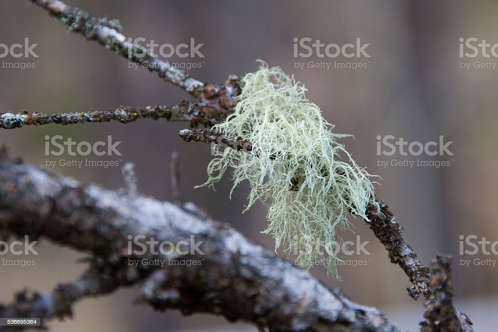 Moss on Branch stock photo