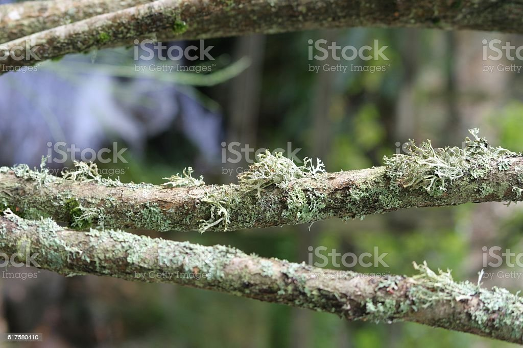 Moss on branches stock photo