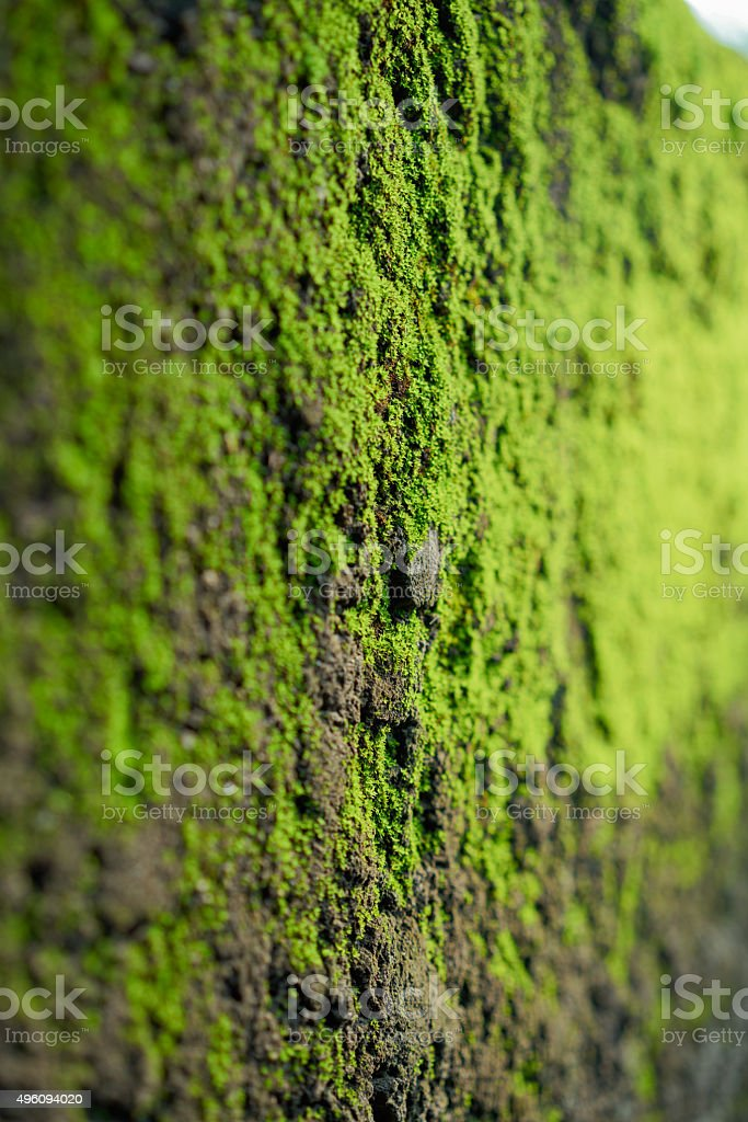 moss on cement wall royalty-free stock photo