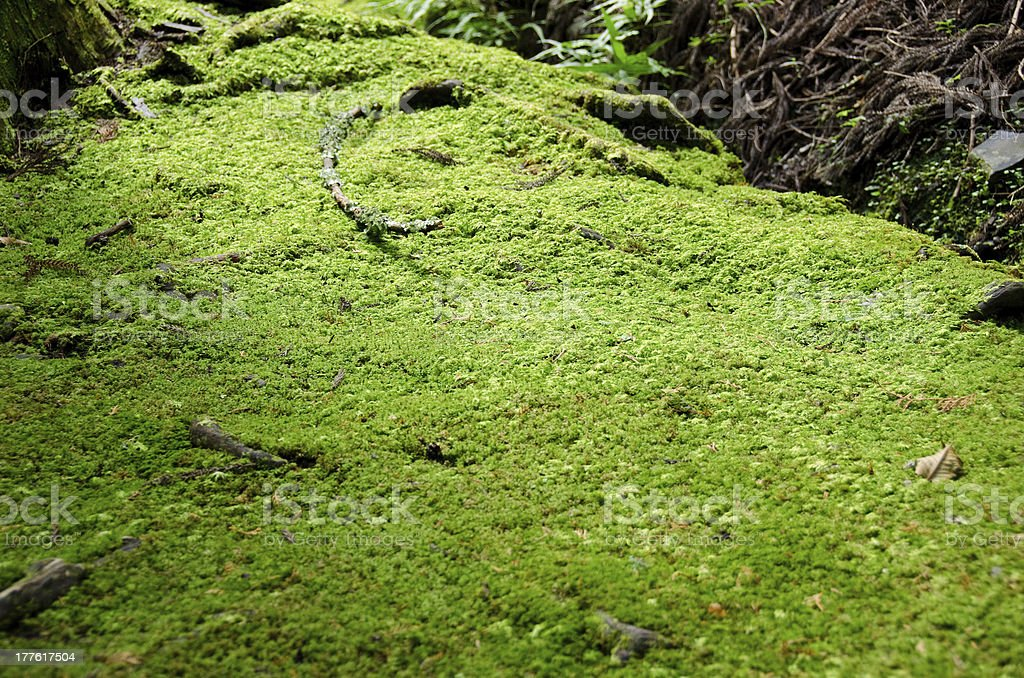 Moss on forest floor royalty-free stock photo