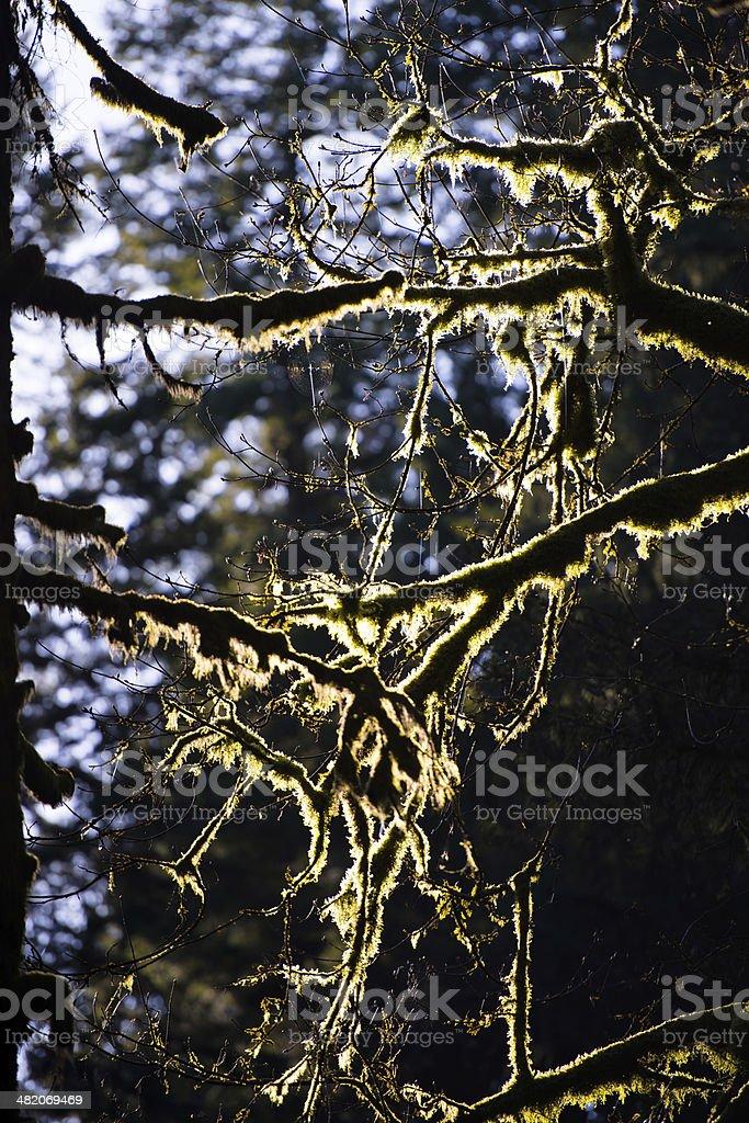 Moss sui rami di alberi nella luce del sole foto stock royalty-free