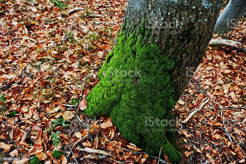 Moss on the tree bark at the root at autumn stock photo