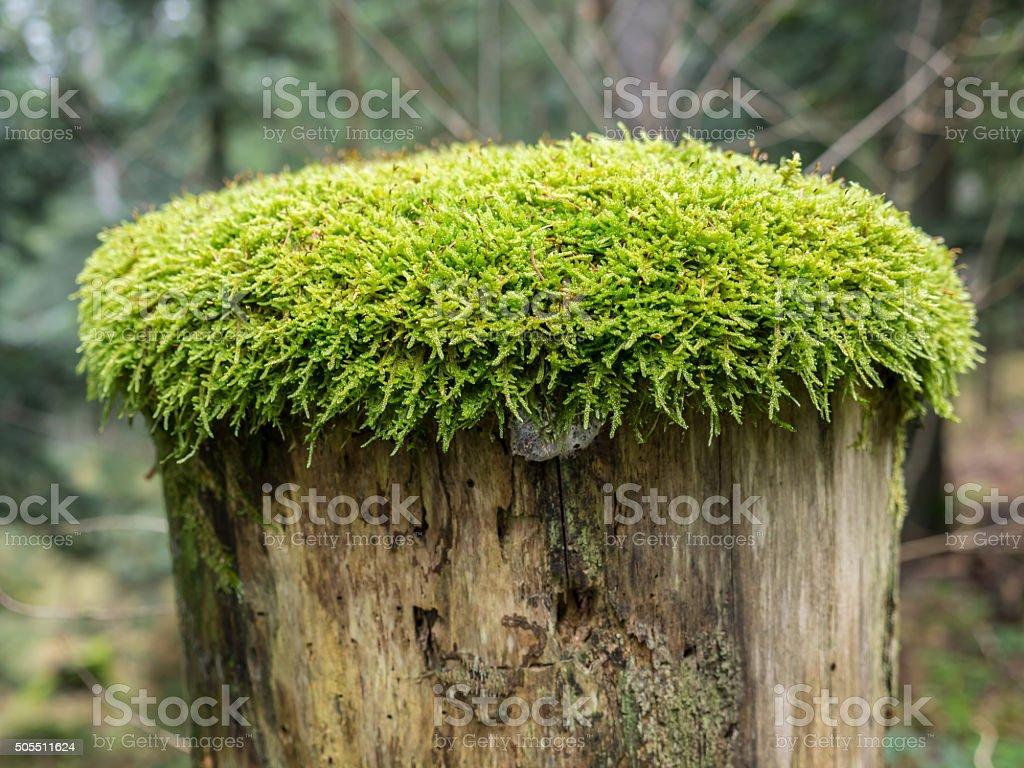 Moss on tree stump stock photo