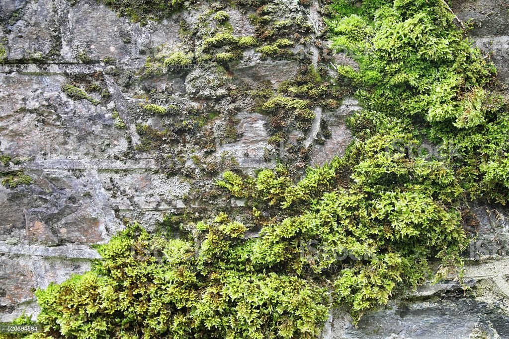 Moss on wall background stock photo