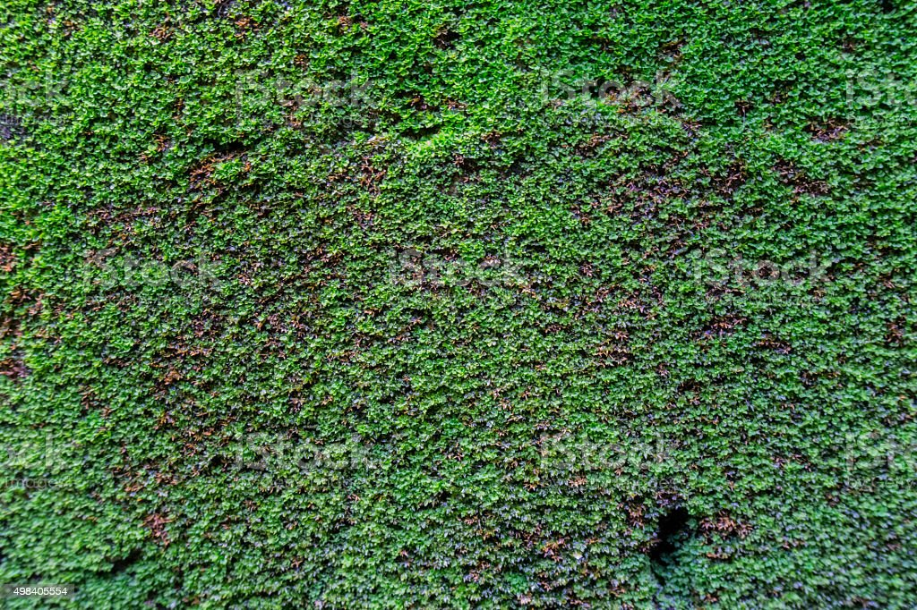 Moss on wall texture background stock photo