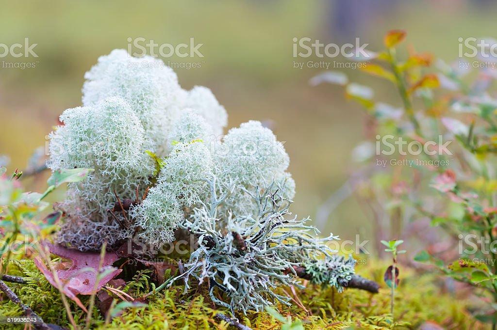 Moss or reindeer moss stock photo
