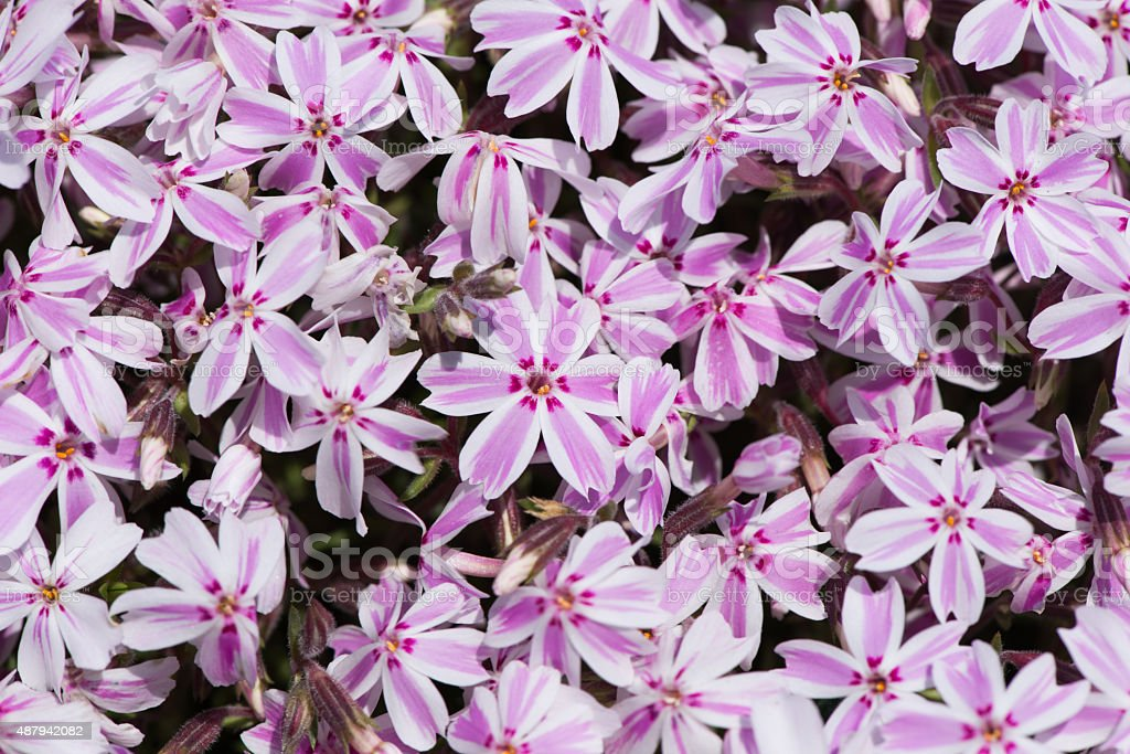 moss phlox - closeup stock photo