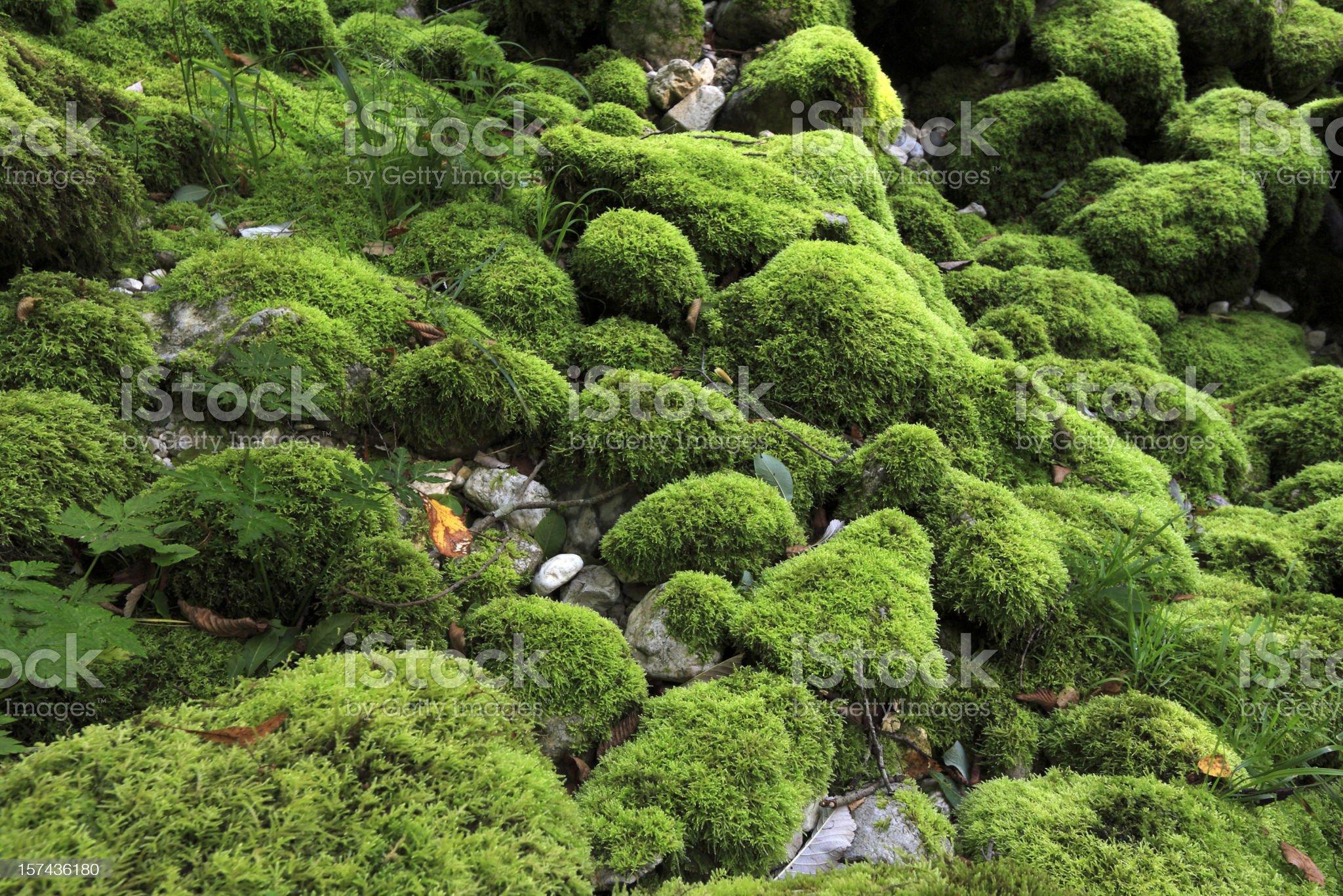 Moss royalty-free stock photo