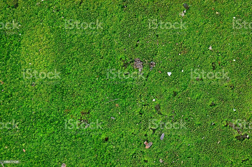 Moss plant background stock photo
